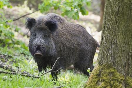 sanglier: wild hog observing