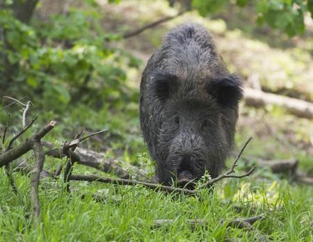 wild hog eating Standard-Bild