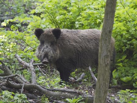 wild hog in forest photo