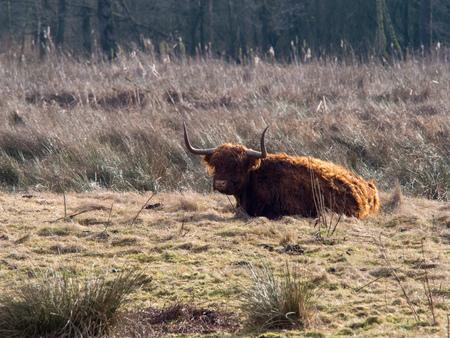 highlander cow in a field