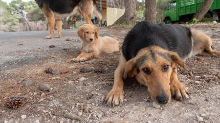 stray dogs on the streets of the island of Zakynthos