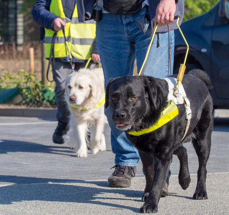 training of guidance dogs for the blind and visually impaired Stockfoto