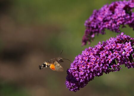 hummingbird moth in search of pollen