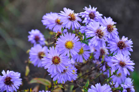 pestil: The beautiful Aster blossoms in the summer garden. Beautiful image for usage with perfume theme products.