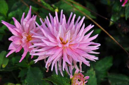 Pink dahlia flower with thin petals. It's situated in green environment of vegetal leaves