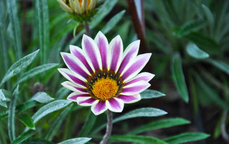 The beatuful Gazania flower in the garden. Image was taken in the Wroclaw Botany Garden, Poland.