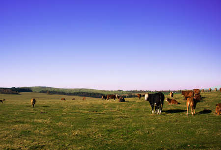 A herd of cows relaxing on the huge Ore Mountains meadow in the beautiful autumn weather. Stock Photo