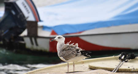 NOVI VINODOLSKI/CROATIA - AUGUST 26 - 2014: The seagull sitting on the boat with feathers blowing in the wind. 에디토리얼