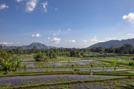 Tropical ricefield in the North of Bali, Indonesia Stock Photo