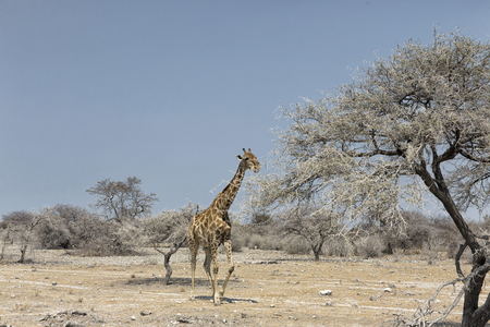 A lonely male giraffe (Giraffa camelopardalis angolensis) roaming in Damaraland, Namibia. Self-drive safari