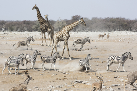 Giraffes, Zebra, and Springbok gather at a watering hole in Etosha National Park to drink in Namibia, Africa