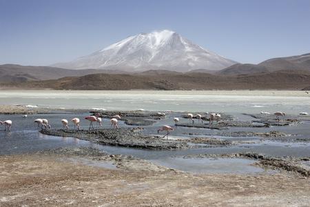 Pink Flamingos at Laguna Honda (in English Deep Lagoon) in sud Lipez Altiplano reserva Eduardo Avaroa - Bolivia, is a salt lake located at 4,114 mt over the sea level in the bolivian Potosí Depart, LAtin America
