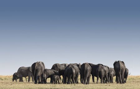 Large group of Elephants in Etosha park Namibia, Africa