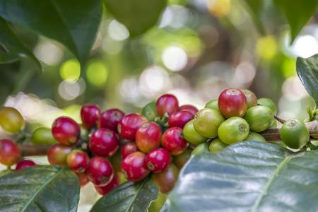 raw coffee beans on a bush in ecological farm in bali near ubud, civet coffee photo