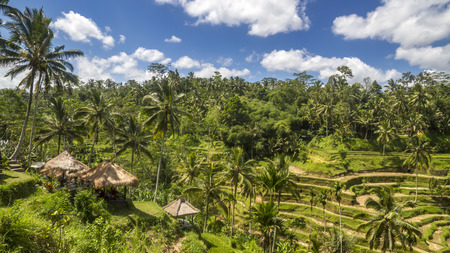 View of rice fields in Bali photo