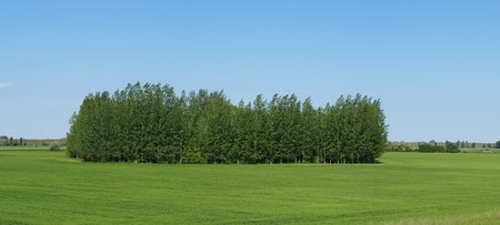 broad leaved tree: Littte forest on a field of green wheat