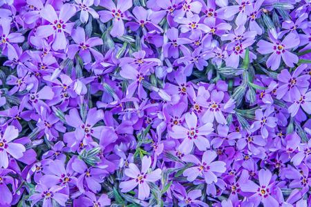 campo de flores: fondo violeta flor de primavera