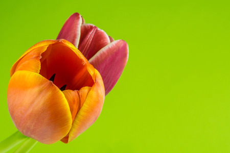 two fresh colored tulips on green background photo