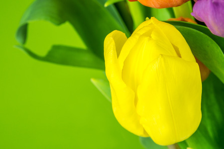 yellow tulip on green background photo