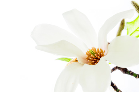 asiatische Magnolie