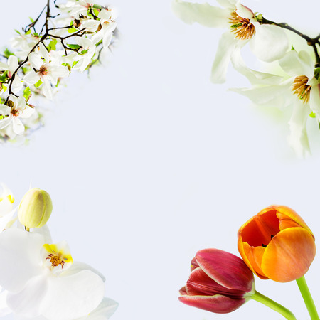 asian tulips: asian type of magnolia, magnolia stellata or called star magnolia, white orchid and two tulips wildly blossoming during spring time in Europe on light blue background
