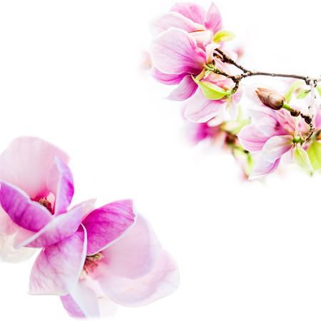 tree detail: asian type of magnolia wildly blossoming during spring time in Europe on white background Stock Photo