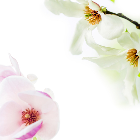 magnolia soulangeana: asian type of magnolia wildly blossoming during spring time in Europe on white background Stock Photo