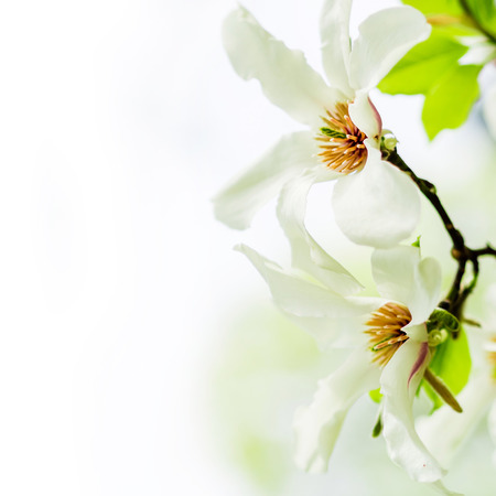 Asian magnolia