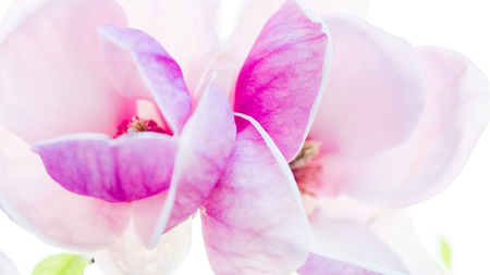 magnolia soulangeana: magnolia, magnolia soulangiana  or soulangeana wildly blossoming during spring time in Europe Stock Photo