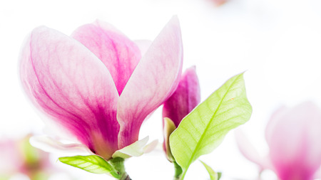 tree detail: magnolia, magnolia soulangiana  or soulangeana wildly blossoming during spring time in Europe Stock Photo