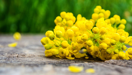 closeup of violet and yellow flowers with green leaf on wooden and partly green  background, spring time Stock Photo