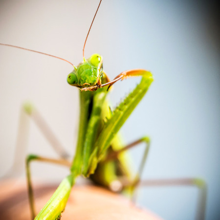 mantid: closeup of green mantis on blue outdoor natural background laying on finger