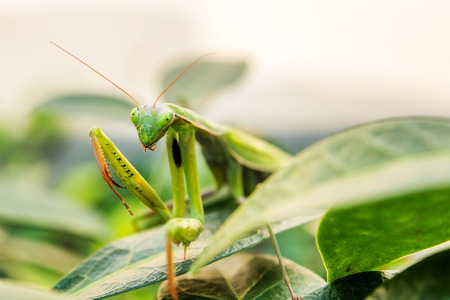 mantid: closeup of green mantis on green outdoor natural background Stock Photo