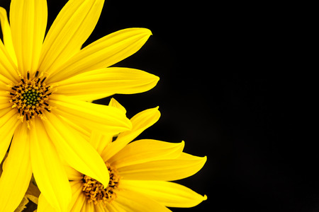 Yellow flower with thin petals on light black background stock photo stock photo yellow flower with thin petals on light black background mightylinksfo