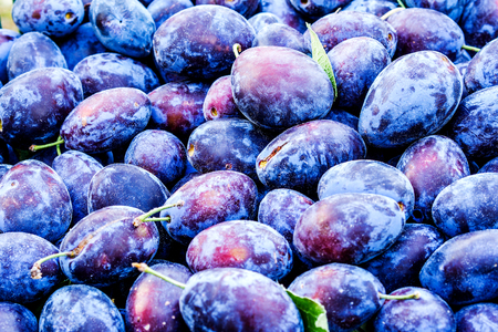 closeup of dirty plums shortly after harvesting forming violet friut background Stock Photo