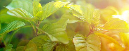 Green fresh leaf of mint, morocco type mint closeup shot. Mint leaf texture, leaf pattern, with strong sunset sunrise atmosphere Reklamní fotografie