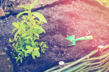 man planting green fresh leaf of mint, morocco type mint closeup shot with man hands in the front and brown soil as natural background, working in herbal garden