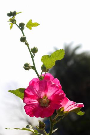 hollyhocks: Dark pink Hollyhocks flower