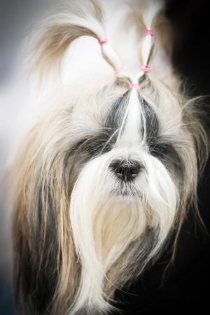 breeds: dog breeds shih tzu