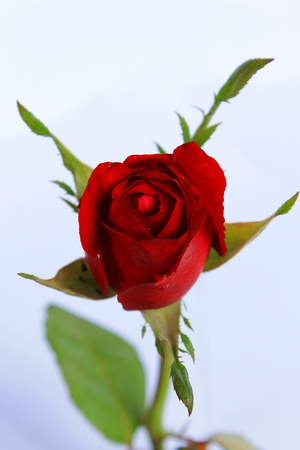 Rose  on a white background  Stock Photo