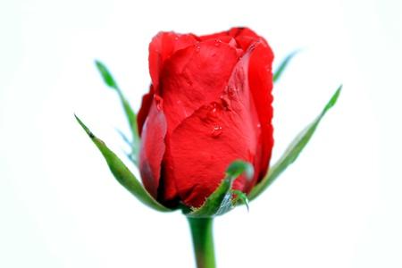 rózsák Stock fotó