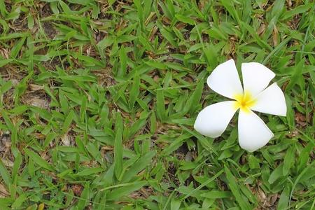 Frangipani flowers texture Stock Photo - 13336114