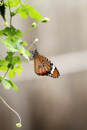 Butterfly on top the biennial plant photo