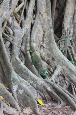 deep roots: Tree roots  in the deep forest