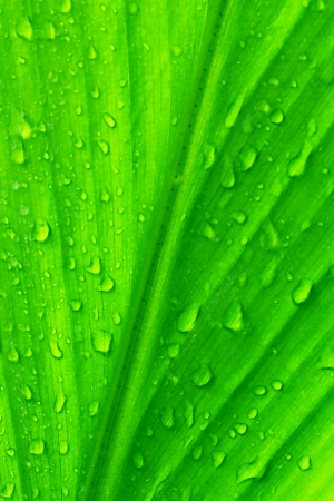 Water drops on the green leaves