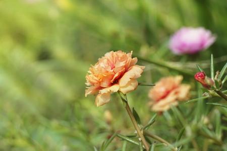 Orange portulaca in the graden