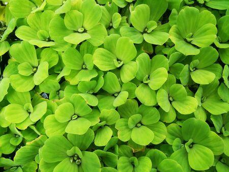 Fresh Water Lettuce green in the background Zdjęcie Seryjne