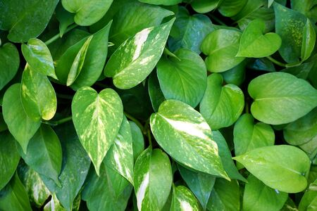 Spotted betel leaves is green background