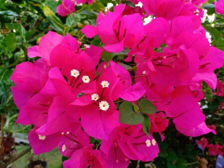 Pink bougainvillea flowers in the flower garden Standard-Bild