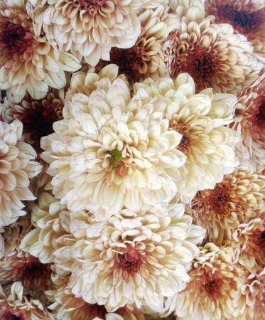 white chrysanthemum vintage style background Standard-Bild